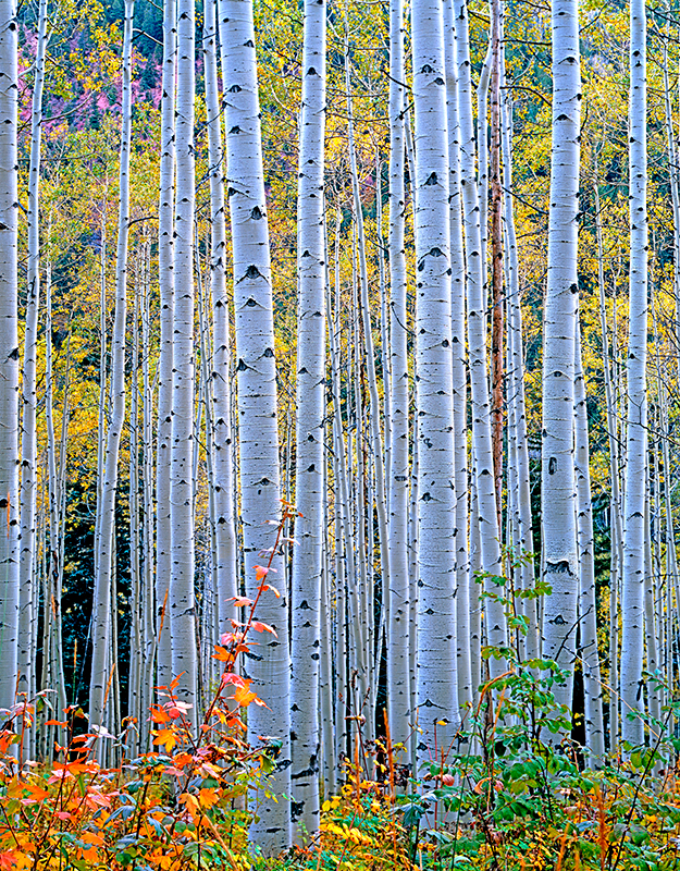 Autumn Aspen, Marble, Colorado