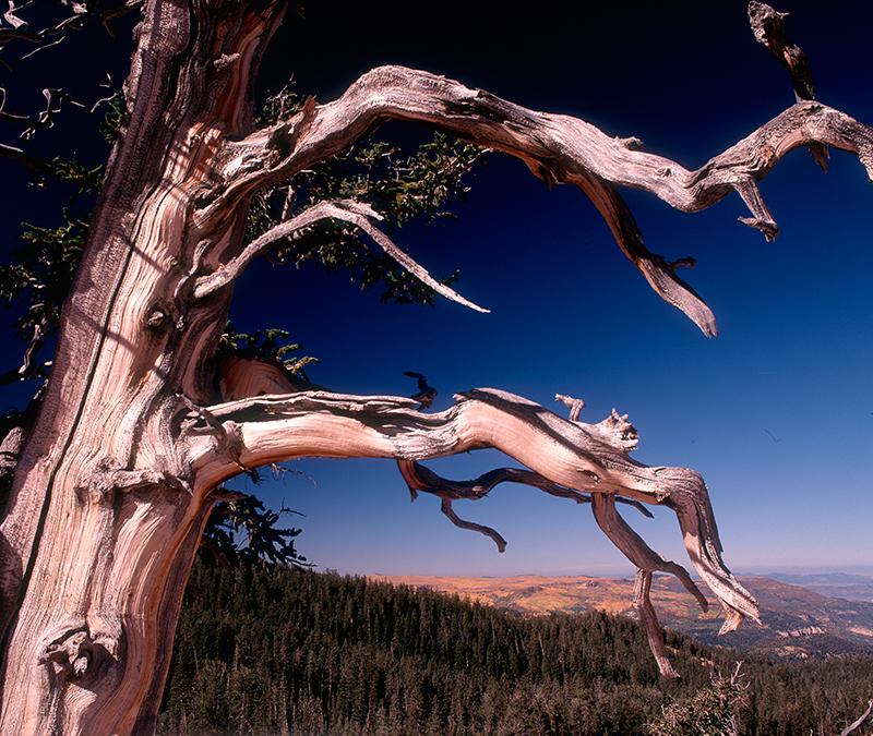 Bristlecone Pine, Cedar Breaks, Utah