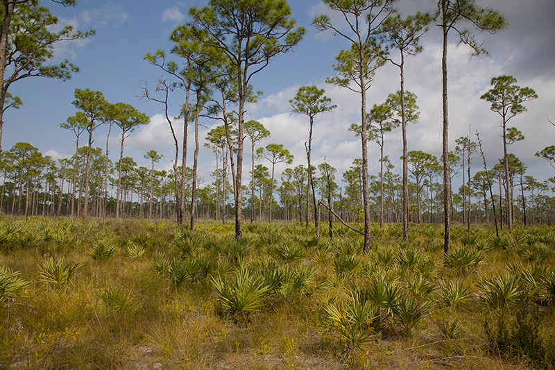 Piney Woods, Jonathan Dickinson State Park, Florida
