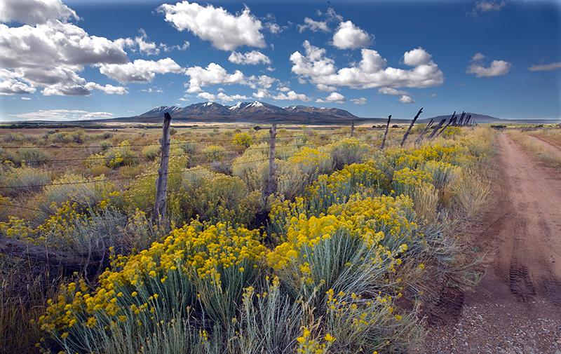 Rabbitbrush, Abajo Mountains, Utah
