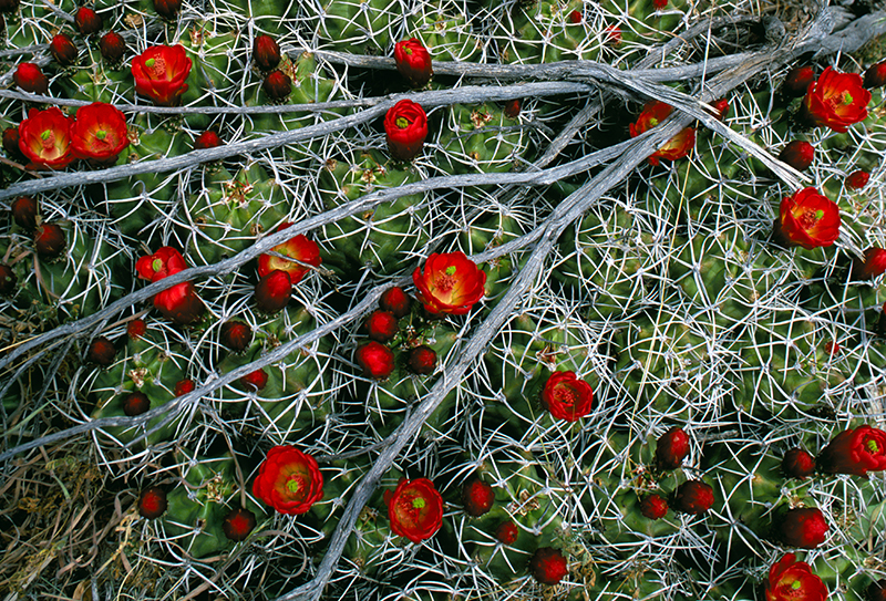 Claret Cup Cactus in Bloom Sagebrush Skeleton