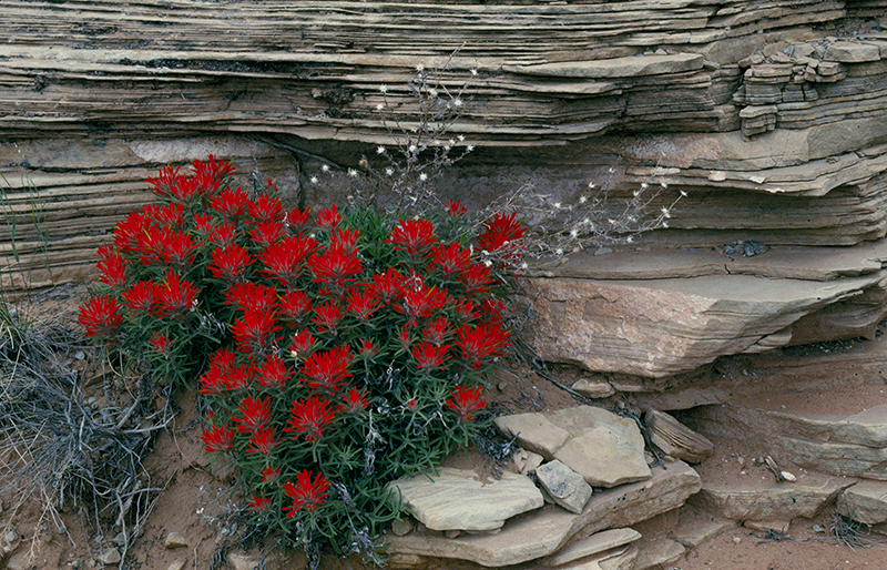 Desert Paintbrush Utah