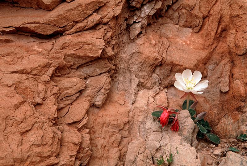 Evening Primrose Southwest Utah