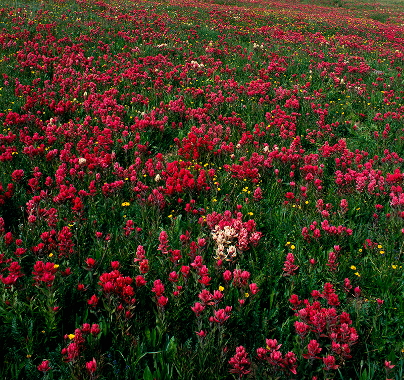 Indian Paintbrush Engineer Pass Colorado