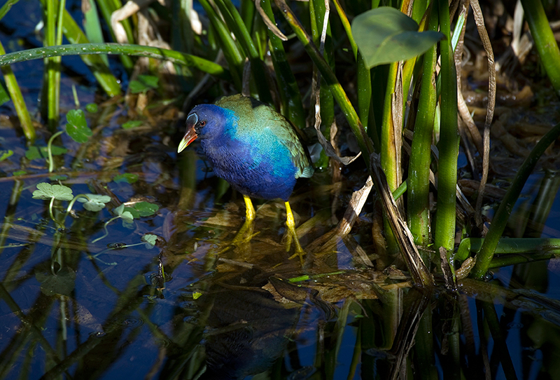 Purple Gallinule MG 1837