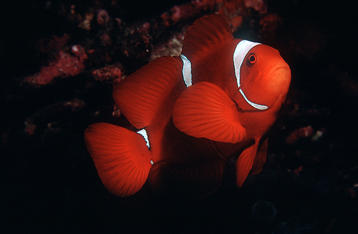 Spine Cheek Anemonefish 021