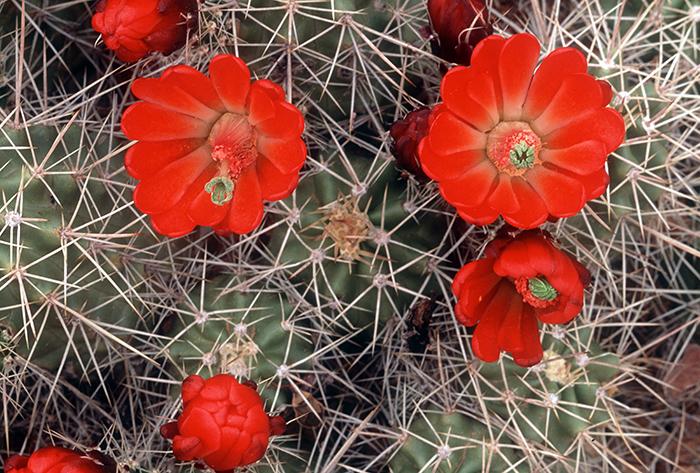 Claret Cup Cactus 008
