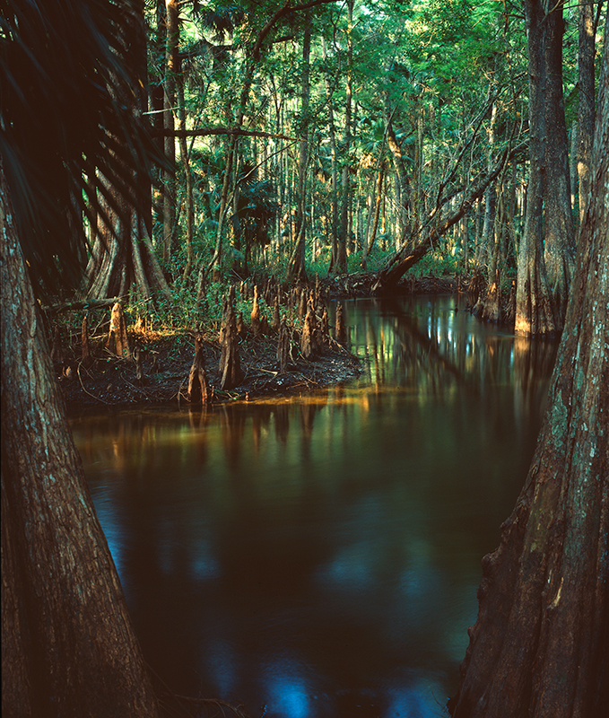Cyprus Knees, Loxahatchee River, Florida
