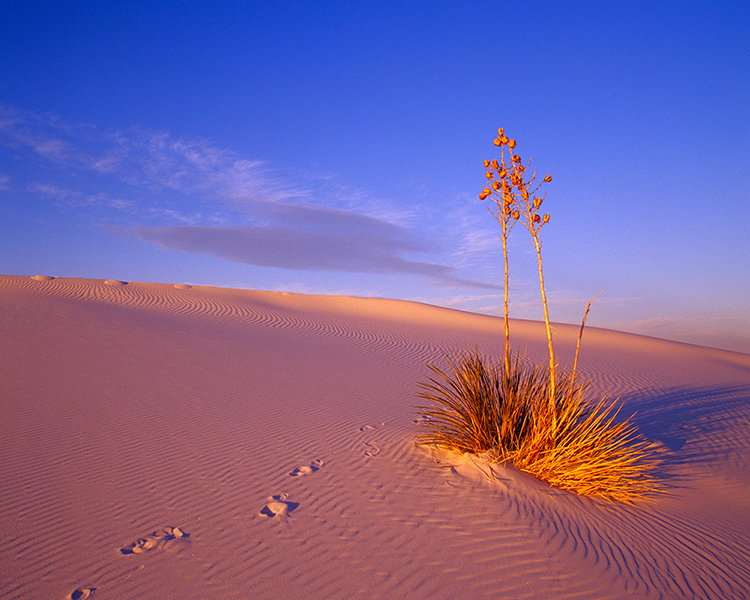 RY-Soaptree-Yucca-White-Sands-01